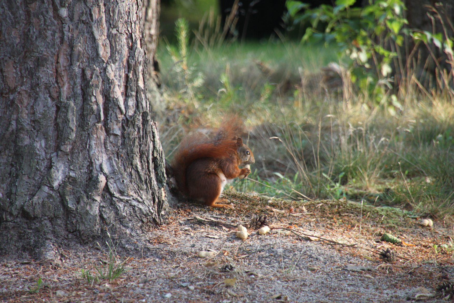 eekhoorn - ontdek de Achterhoek